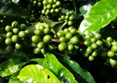 Green coffee: slimming and eliminating cellulite
